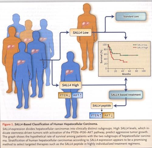 肝臓癌の幹細胞の説明の図.jpg