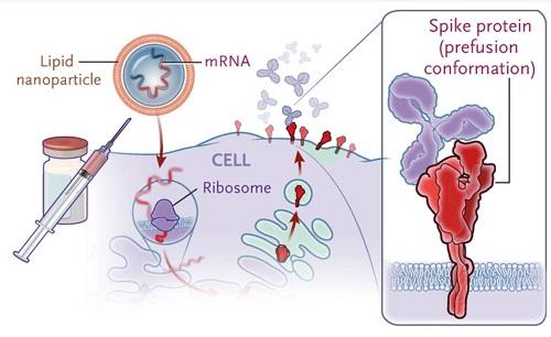 RNAワクチンのメカニズムの図.jpg